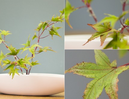 How To Make A Japanese Maple