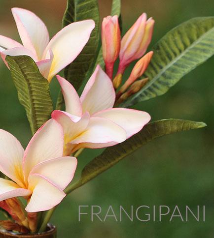 how to make frangipani sugar flowers - CakeFlix