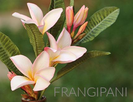 Frangipani Sugar Flowers