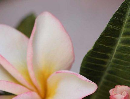 frangipani cake - frangipani sugar flowers