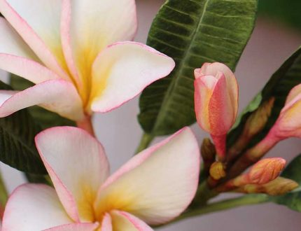 how to make frangipani sugar flowers