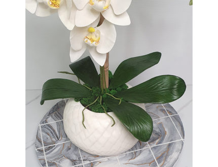 Moth orchid leaves