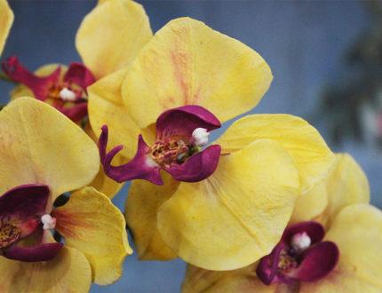 Moth orchid petals close 1