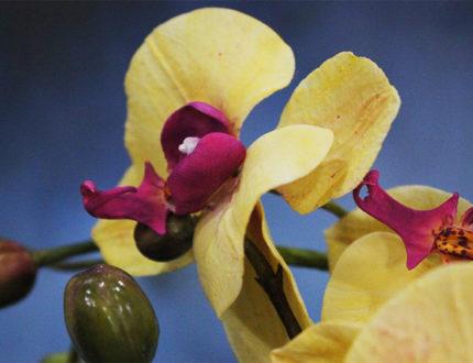 Moth orchid petals close 2