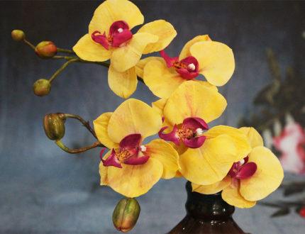 Moth orchid full 2